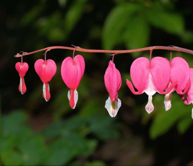 Closeup of pink bleeding heart as one of the five flowers that grow in full shade